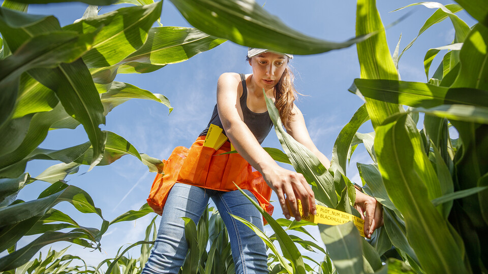 female student measures the growth of leaf angles on a sorghum crop