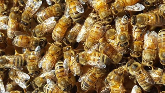 Close-up of bees
