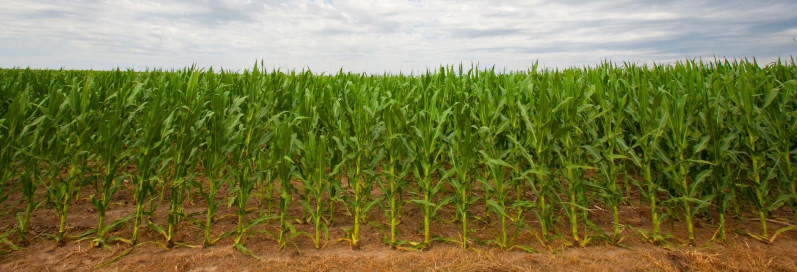 A field of corn.